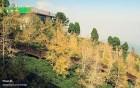 大崙山觀光茶園