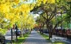 府城五月黃金雨